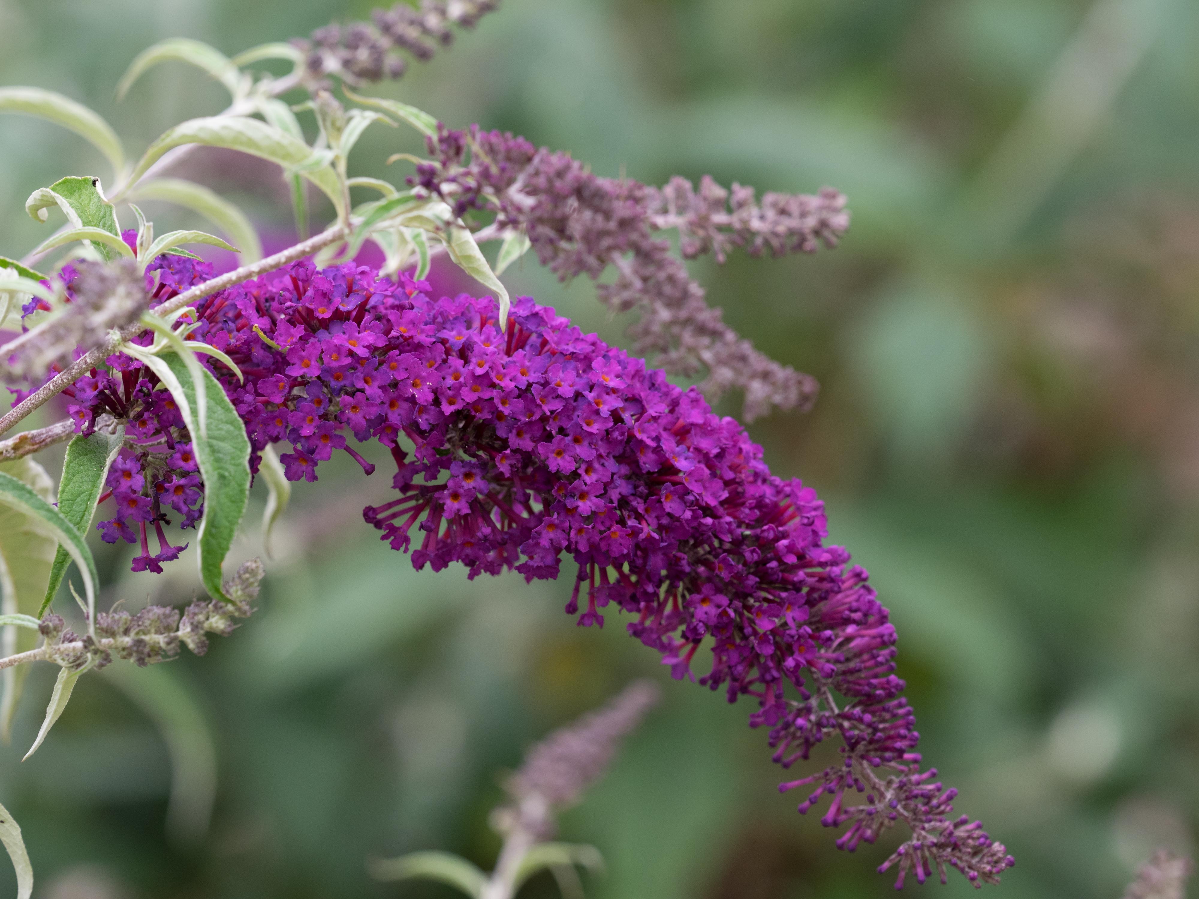 Picture of Live Butterfly Bush (dwarf) aka Buddleia dav. 'Nanho Purple' Plant Fit 1 Gallon Pot