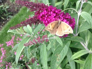 Buddleja davidii 'Sugar Plum' with Meadow Brown 29th August 11.50 2015 in my garden Peter Moore