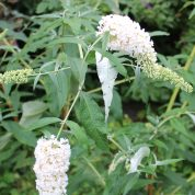 Buddleja By The Way Peter Moore